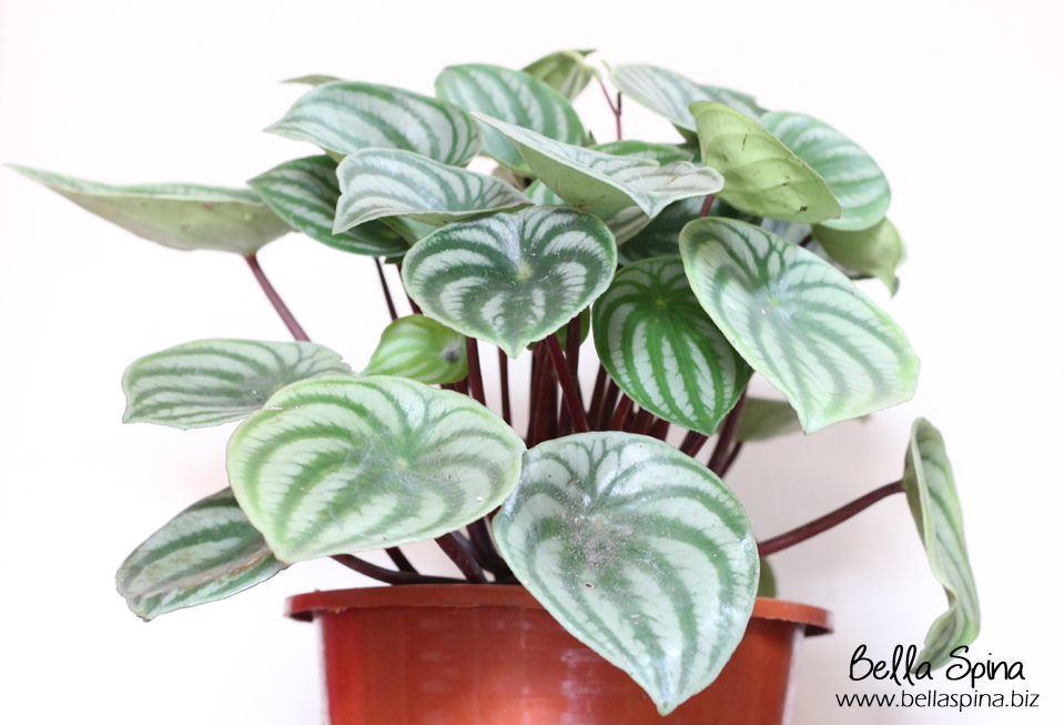 Peperomia Watermelon (Small size)
