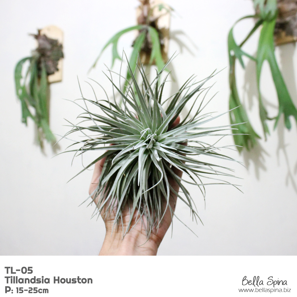 TL-05 Tillandsia Houston