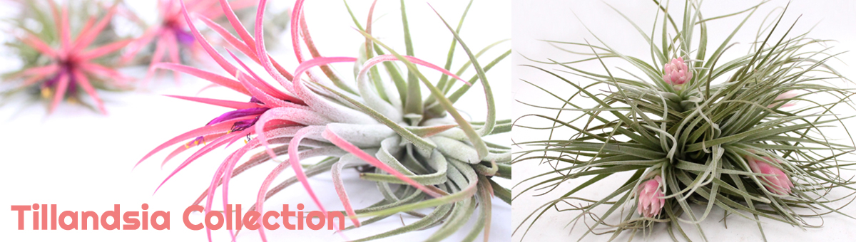 Tillandsia Airplant